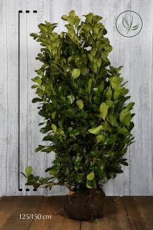 Lauroceraso 'Etna' Zolla 120-140 cm Qualità extra