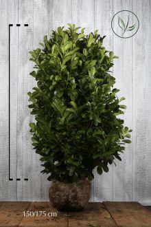 Lauroceraso 'Etna' Zolla 140-160 cm Qualità extra