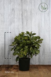 Aucuba giapponese 'Crotonifolia' Contenitore 50-60 cm