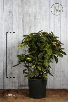 Aucuba giapponese 'Crotonifolia' Contenitore 60-80 cm