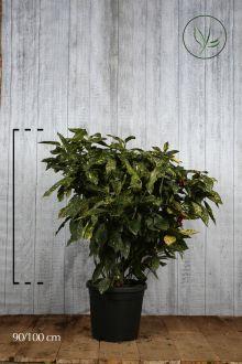 Aucuba giapponese 'Crotonifolia' Contenitore 80-100 cm