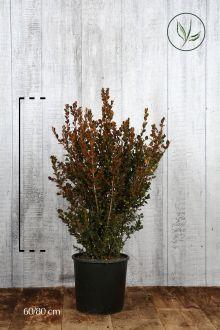 Bosso Faulkner Contenitore 60-80 cm