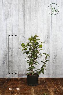 Camellia sasanqua Pink Contenitore 40-50 cm