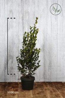 Camellia sasanqua Pink Contenitore 60-80 cm