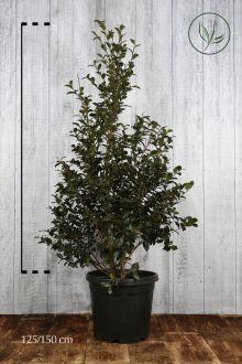 Camellia sasanqua Pink Contenitore 125-150 cm