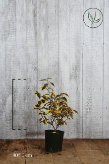 Olivagno Gilt Edge Contenitore 40-50 cm