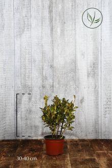 Evonimo Aureopictus Luna Contenitore 30-40 cm