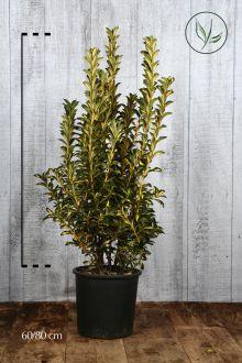 Evonimo Aureopictus Luna Contenitore 60-80 cm