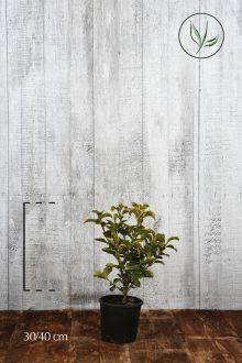 Evonimo del Giappone 'Aureus' Contenitore 30-40 cm