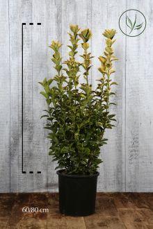 Evonimo del Giappone 'Aureus' Contenitore 60-80 cm