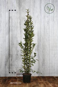 Ligustro del Giappone Contenitore 80-100 cm