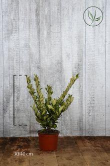 Ligustro del Texas Contenitore 30-40 cm