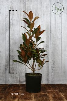 Magnolia Grandiflora Contenitore 80-100 cm