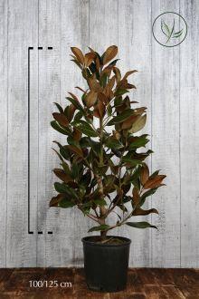 Magnolia Grandiflora Contenitore 100-125 cm