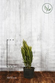 Oleandro 'White' Contenitore 40-50 cm