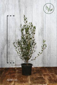 Phillyrea angustifolia Contenitore 60-80 cm