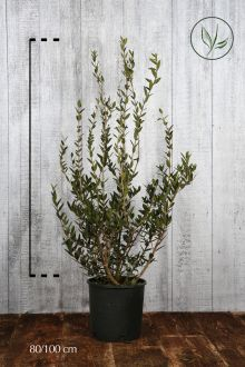 Phillyrea angustifolia Contenitore 80-100 cm