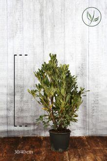 Pitosporo Tobira Contenitore 30-40 cm
