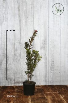 Lentisco Contenitore 30-40 cm
