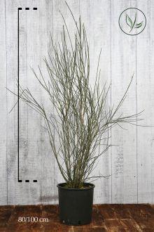 Ginestra odorosa Contenitore 80-100 cm