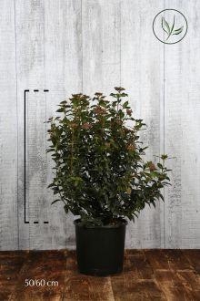 Viburno o Lentaggine Contenitore 50-60 cm Qualità extra