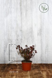 Azalea 'Pink' Contenitore 20-30 cm