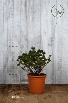 Azalea 'Pink' Contenitore 40-50 cm