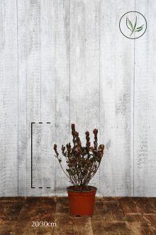 Azalea 'Red' Contenitore 20-30 cm