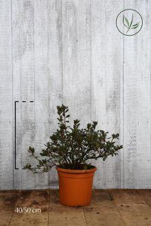 Azalea 'Red' Contenitore 40-50 cm