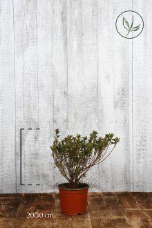 Azalea 'Purple' Contenitore 20-30 cm