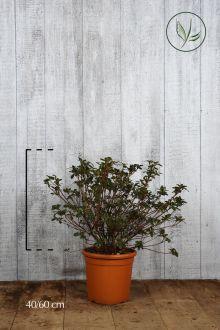 Azalea 'White' Contenitore 40-50 cm
