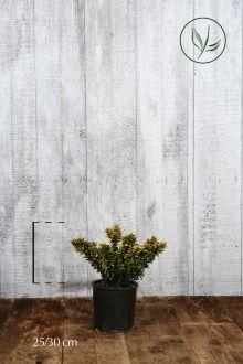 Evonimo Pulchellus Aurea Contenitore 25-30 cm
