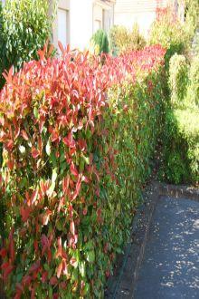 Fotinia 'Red Robin' Contenitore 80-100 cm Qualità extra