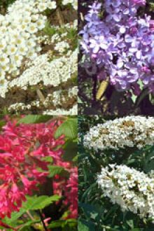 Siepe per farfalle e insetti radice nuda 30-60 cm