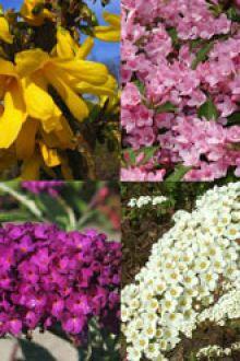 Siepe fiorita alta 1 Contenitore 30-60 cm