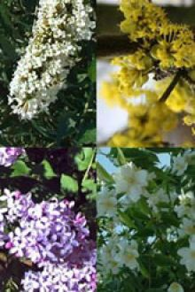 Siepe fiorita alta 2 Contenitore 30-60 cm