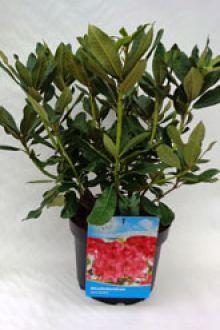 Rododendro 'Nova Zembla' Contenitore 40-50 cm Qualità extra