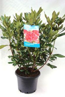 Rododendro 'Nova Zembla' Contenitore 60-70 cm Qualità extra
