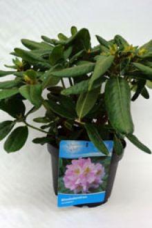 Rododendro 'Scintillation' Contenitore 40-50 cm Qualità extra