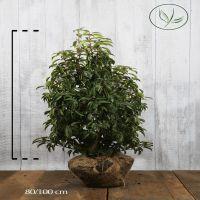 Lauro del Portogallo Zolla 80-100 cm Qualità extra