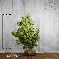 Lauroceraso 'Rotundifolia' Zolla 100-125 cm Qualità extra