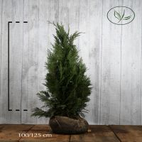 Cipresso di Lawson 'Columnaris' Zolla 100-125 cm Qualità extra