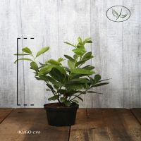 Lauroceraso 'Rotundifolia' Contenitore 40-60 cm
