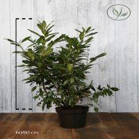 Lauroceraso 'Herbergii' Contenitore 60-80 cm Qualità extra