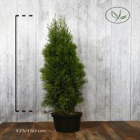 Tuia 'Smaragd' Contenitore 125-150 cm Qualità extra