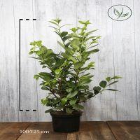 Lauroceraso 'Rotundifolia' Contenitore 100-125 cm