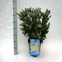 Rododendro 'Madame Masson' Contenitore 40-50 cm Qualità extra