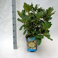 Rododendro 'Horizon Monarch' Contenitore 40-50 cm Qualità extra
