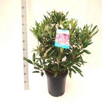 Rododendro 'Marcel Menard' Contenitore 60-70 cm Qualità extra
