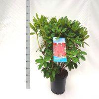 Rododendro 'Red Jack' Contenitore 60-70 cm Qualità extra